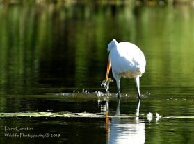 White Egret with fish, Brattleboro VT