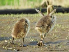 geese babies barton 2018 4