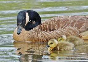 Canadian Goose and juveniles, Putney VT