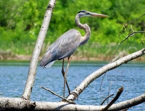 Great Blue Heron, Brattleboro VT