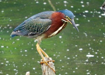 Green Heron, Putney VT