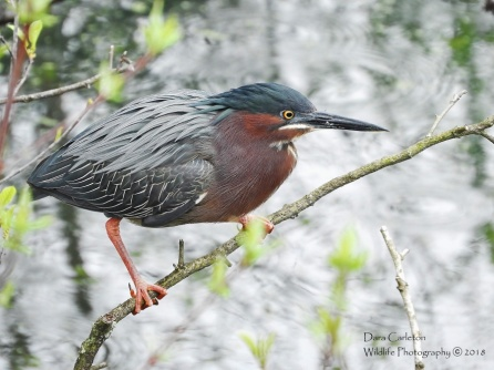 Green Heron, Brattleboro VT