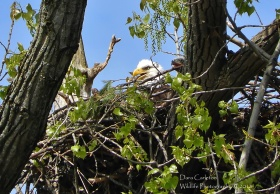 Female bald eagle Black band 9 over K sitting in her nest in Hinsdale, NH with her 2018 eaglet.