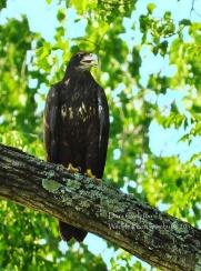 Juvenile bald eagle. Hinsdale, NH 2018