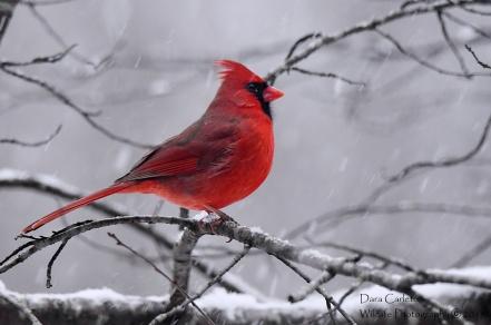 Male northern cardinal, Brookline VT