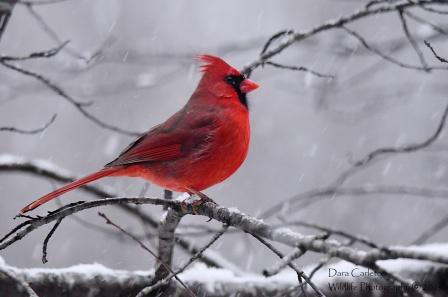 Male cardinal Brookline VT 2019