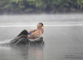 Female mallard duck, Gill MA