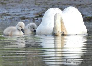 Mute Swan and cygnets Gill, MA 2018