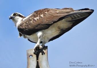 Osprey Perching