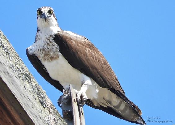 Staredown - adult osprey