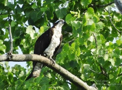 This osprey was photographed from my kayak in Hinsdale NH along the Connecticut River in 2018.