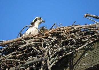 osprey nest head rvrsd dr 2017 7 copywrite