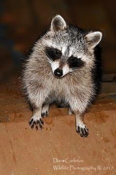 Raccoon on the porch, unexpected. Brattleboro, VT 2017