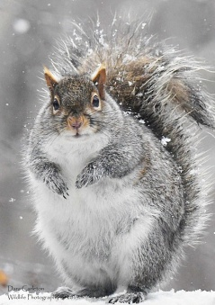 Adult gray squirrel. Brookline, VT 2019
