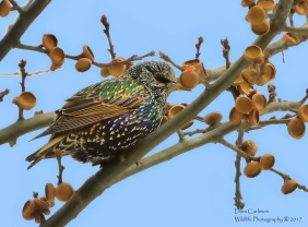 starling cw