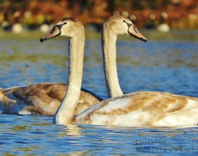 Mute Swan Cygnets, Gill MA