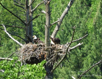 Adult female bald eagle and 2 eaglets. West River Trail, Townshend, VT 2018