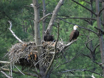 This is a nest in Townshend, VT, near the Townshend Dam on the West River Trail. I have not been able to get close enough to identify this pair yet, but they may not be banded at all, and therefore unidentifiable. There were 2 eaglets in this nest in 2018. I can only reach by land, not kayak, but I probably have a better view this way.