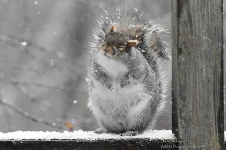 Grey squirrel. Brookline, VT 2019