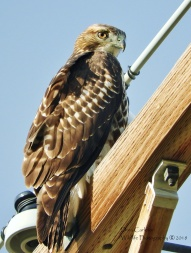 Hawk spotted in Montana from our trip to Yellowstone National Park Summer 2018
