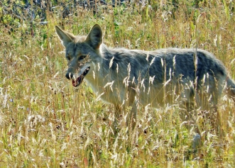 Wild coyote. Wyoming 2018