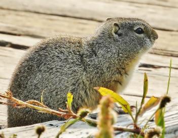 Uinta Ground Squirrel, Montana