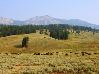 Wild bison roaming the land. Montana 2018
