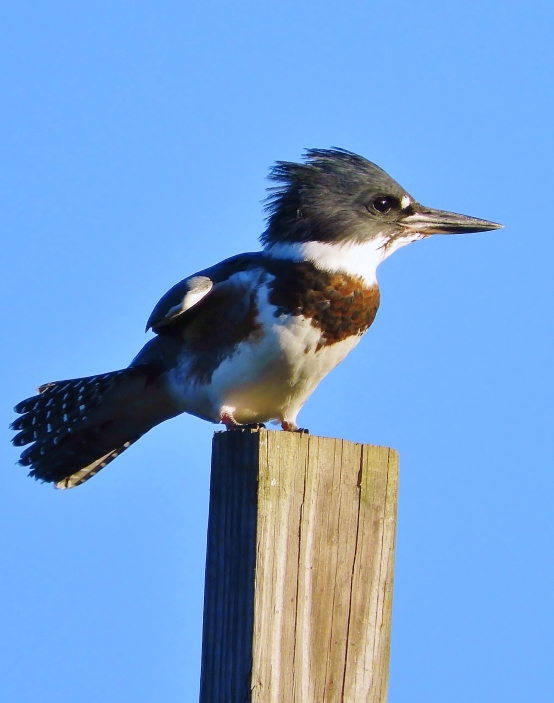 Belted Kingfisher, Gill MA