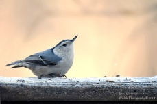 White breasted nuthatch. Brookline, VT 2019