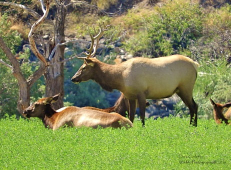 Male and female elk