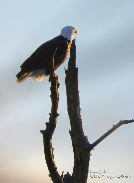 Male adult bald eagle. Hinsdale, NH 2019 Orange leg band B over O