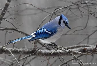 Blue Jay, Brookline VT