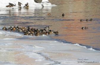 Many ducks, Vernon VT