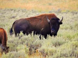 Adult wild bison. Montana 2018