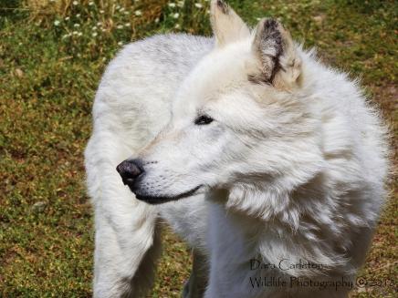 Adult wolf. Montana (captive)