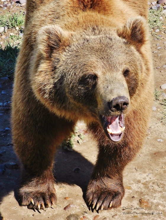Adult Grizzly bear. Rexburg, Idaho 2018