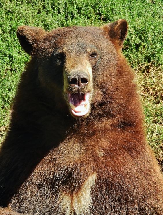 Adult grizzly bear. Rexburg, Idaho 2018