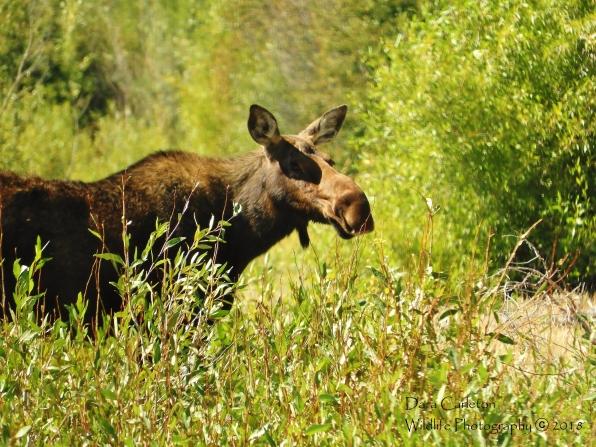 Female adult moose. Wyoming 2018