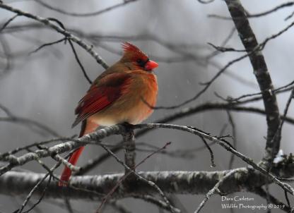 Female northern cardinal, Brookline VT