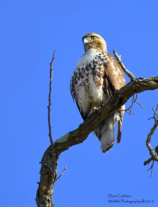 Red-tailed hawk. Brattleboro, VT 2019