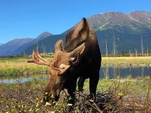 Alaska moose (captive)