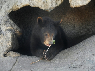 Juvenile black bear. Idaho 2018