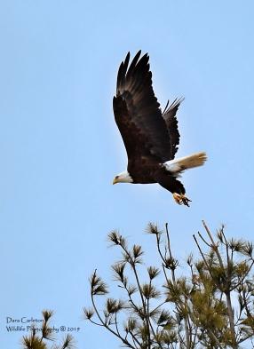 Male adult bald eagle. Walpole, NH 2019 Not banded.