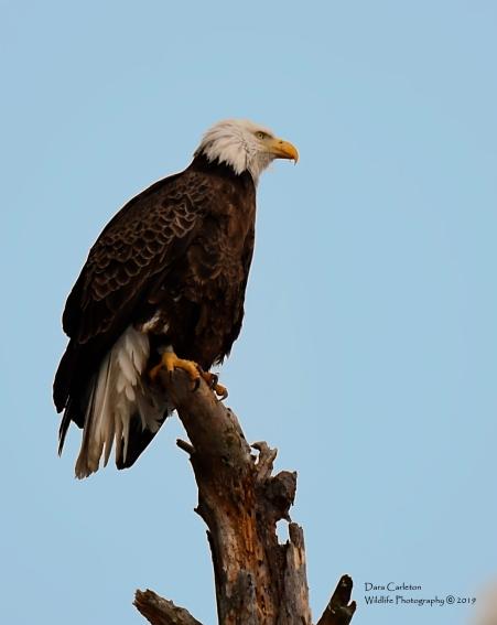 Female adult bald eagle. Walpole, NH 2019