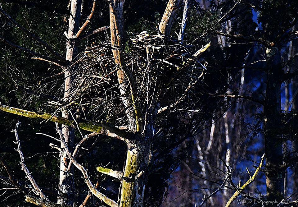 Townshend Bald Eagle Nest