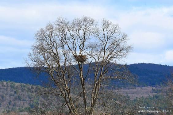 A lovely large bald eagle nest in Vernon, VT near the Massachusetts border. Taken April of 2019