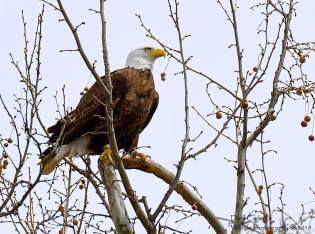 Male bald eagle hatched in 2010 in Plainfield, NH. Photo taken at the Retreat Meadows in Brattleboro. April 2019