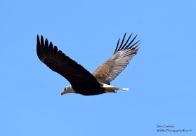 This is the unbanded mate to male bald eagle A over P. Retreat Meadows, Brattleboro, VT. April 2019.
