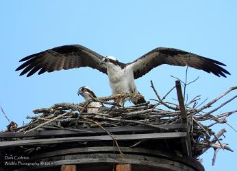 Pair of osprey in the process of building their nest. Brattleboro VT April 2019