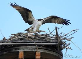 Osprey showing off his beautiful wings. Brattleboro, April 2019.